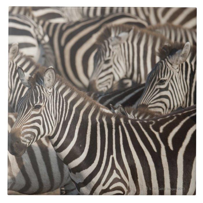 Zebras, Kenya, Africa Tile