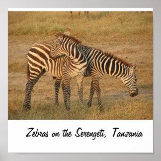 Zebras on the Serengeti, Tanzania Poster