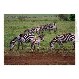 Zebras on the Serengetti Plains, Equus quagga, Card