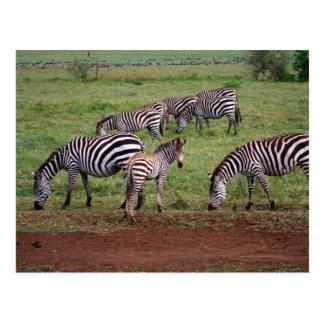 Zebras on the Serengetti Plains, Equus quagga, Postcards