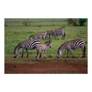 Zebras on the Serengetti Plains, Equus quagga, Poster