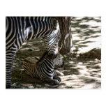 zebras post card