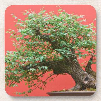 Zelkova bonsai tree beverage coasters