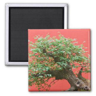 Zelkova bonsai tree 2 inch square magnet