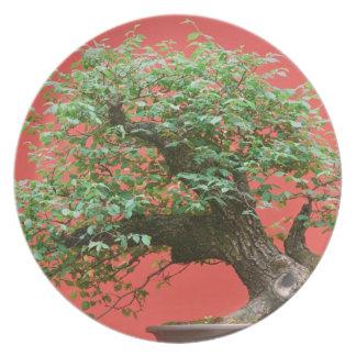 Zelkova bonsai tree plate