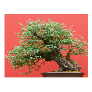 Zelkova bonsai tree postcard