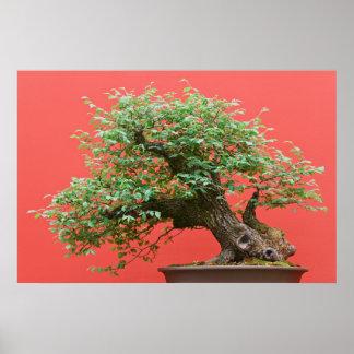 Zelkova bonsai tree poster
