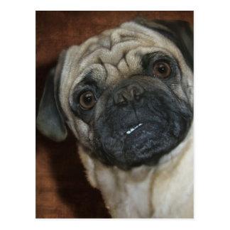 Zena the Pug Postcard
