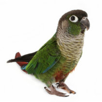Zeph (green cheek conure) - Photo Sculpture