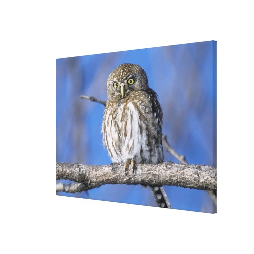 Zimbabwe. Close-up of pearl spotted owl on Gallery Wrap Canvas