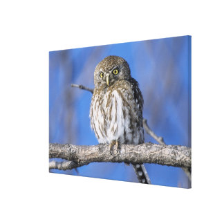 Zimbabwe. Close-up of pearl spotted owl on Canvas Print
