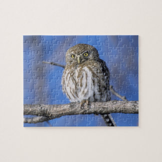Zimbabwe. Close-up of pearl spotted owl on Jigsaw Puzzle