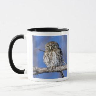 Zimbabwe. Close-up of pearl spotted owl on Mug