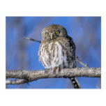 Zimbabwe. Close-up of pearl spotted owl on Post Card