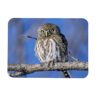 Zimbabwe. Close-up of pearl spotted owl on Rectangular Photo Magnet