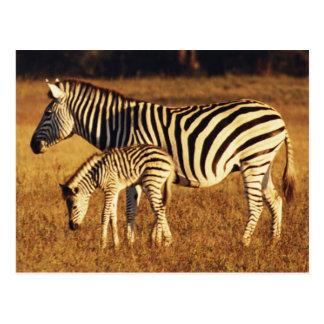 Zimbabwe, Hwange National Park, Linkwasha Postcard