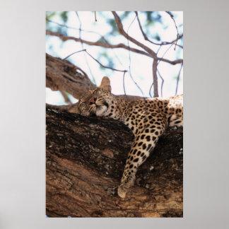 Zimbabwe, Mana Pools National Park, Leopard Poster