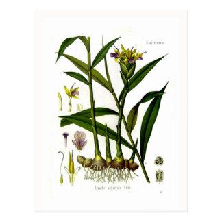 Zingiber officinalis (ginger) postcard