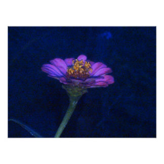 Zinnia at Night Posters