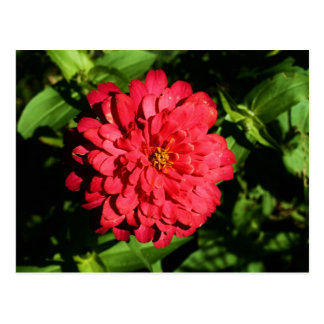 """zinnia"" by Coressel Productions Postcard"