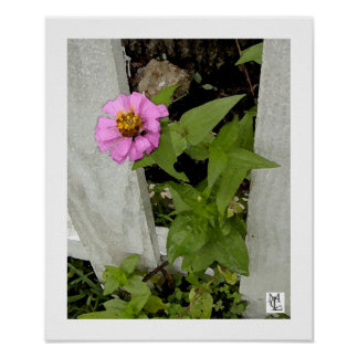 Zinnia by the Picket Fence Poster