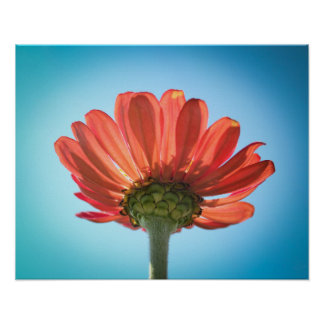 Zinnia Flower - Looking Up Poster