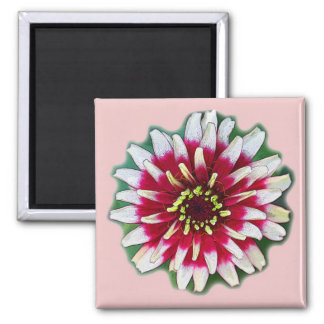 Zinnia on pink. 2 inch square magnet