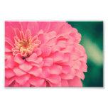 Zinnia rosado impresion fotografica