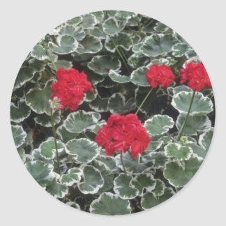 Zonal Geranium (Pelargonium Hortorum) flowers Round Sticker