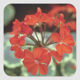 Zonal Geranium (Pelargonium Hortorum) flowers Square Stickers