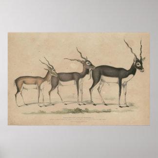 zoology of India 1932 blackbuck Poster