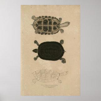 zoology of India 1932 thuji terrapin Poster