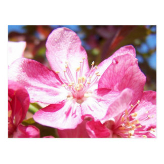 Zoomed in Crabapple Blossoms Postcard