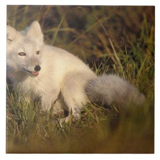 zorro ártico, lagopus del Alopex, capa que cambia  Azulejo Cuadrado Grande