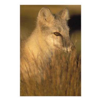 zorro ártico, lagopus del Alopex, capa que cambia  Cojinete