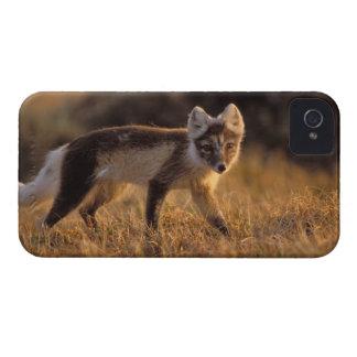 zorro ártico, lagopus del Alopex, capa que cambia  iPhone 4 Case-Mate Cárcasas