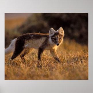 zorro ártico, lagopus del Alopex, capa que cambia  Impresiones