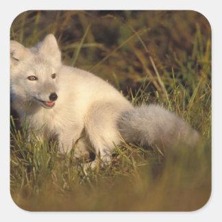 zorro ártico, lagopus del Alopex, capa que cambia Pegatina Cuadrada