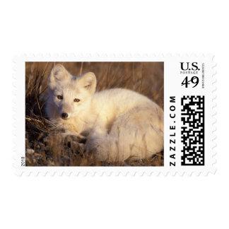 zorro ártico, lagopus del Alopex, capa que cambia Envio
