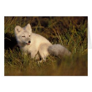 zorro ártico, lagopus del Alopex, capa que cambia  Tarjeta De Felicitación