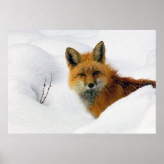 zorro en Parque Nacional de las Montañas Rocosas Posters