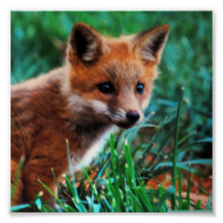 Zorro rojo en hábitat natural póster