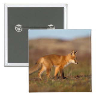 zorro rojo, vulpes del Vulpes, a lo largo de la ce Pin Cuadrada 5 Cm