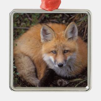 zorro rojo, vulpes del Vulpes, en colores de la Adorno Navideño Cuadrado De Metal