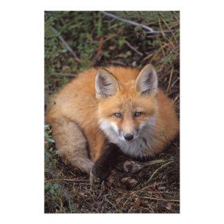 zorro rojo, vulpes del Vulpes, en colores de la ca Fotografía