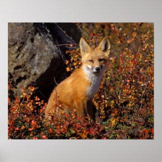 zorro rojo, vulpes del Vulpes, en colores de la ca Impresiones