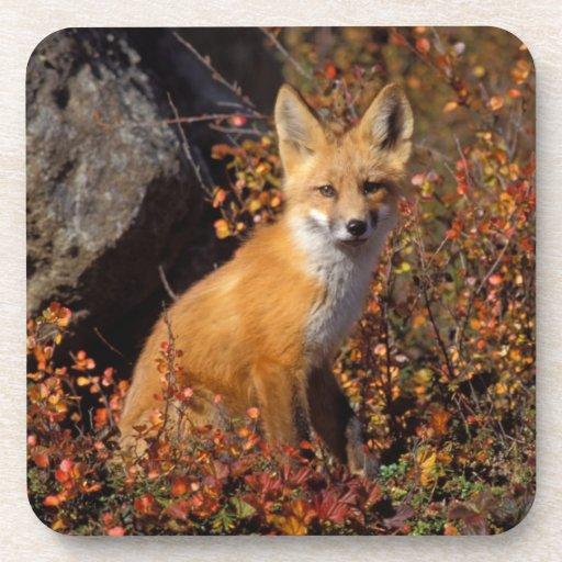 zorro rojo, vulpes del Vulpes, en colores de la ca Posavasos