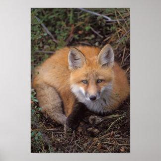 zorro rojo, vulpes del Vulpes, en colores de la ca Póster