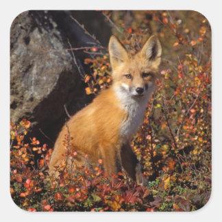 zorro rojo, vulpes del Vulpes, en colores de la Pegatina Cuadrada