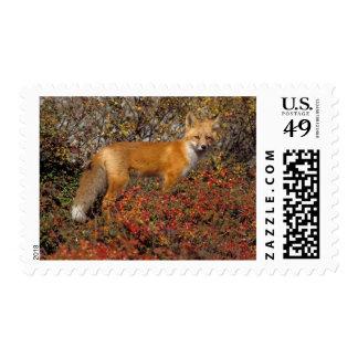 zorro rojo, vulpes del Vulpes, en colores de la Sello